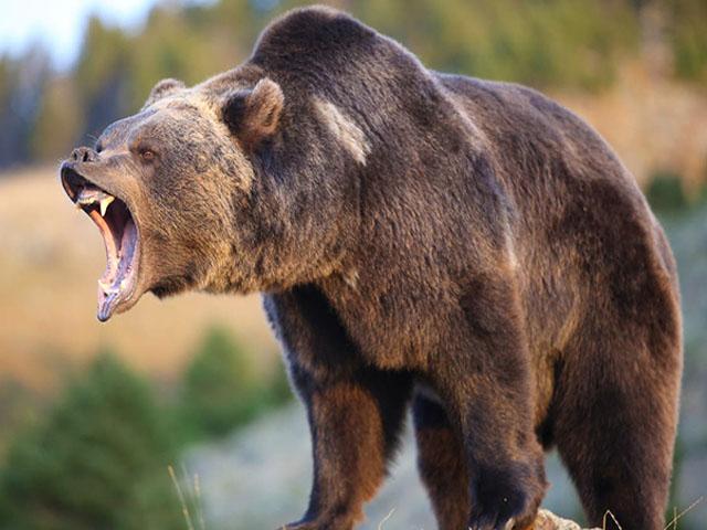 Bear rampaging